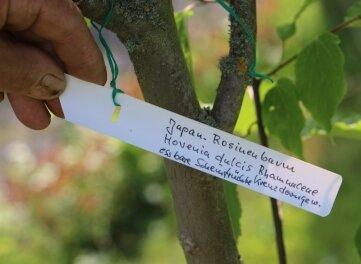 Japanischer Rosinenbaum.
