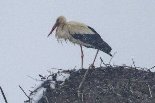 Hier hoch im Nest auf der Esse: der Rußdorfer Jungstorch.