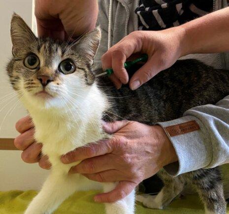 Katze Fiona nimmt das Implantieren offenbar kaum wahr.