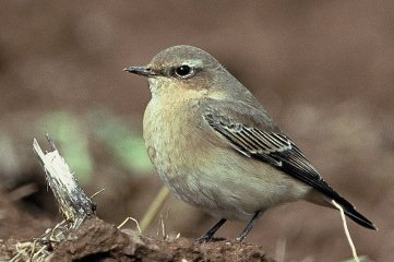 Entdeckt wurde erstmals der Vogel Steinschmätzer.
