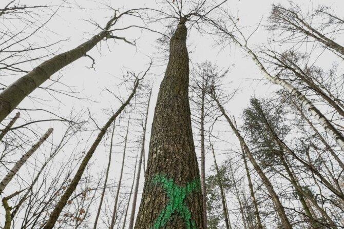 Bei Auerswalde sollen Waldstücke bearbeitet und kranke Bäume entfernt werden. Deshalb sind einige Wege temporär gesperrt.