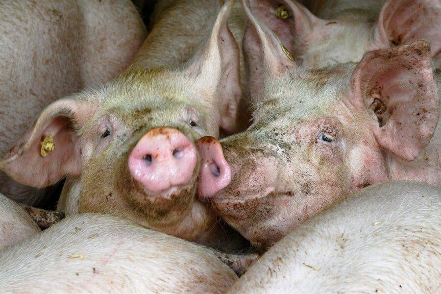 Mastschweine in einem Stall. Einen größeren Schlachthof für Schweine gibt es derzeit in Sachsen nicht.
