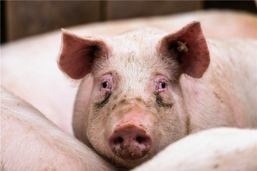 In Brandenburg wurden jetzt erstmals in Deutschland Hausschweine positiv auf ASP getestet.
