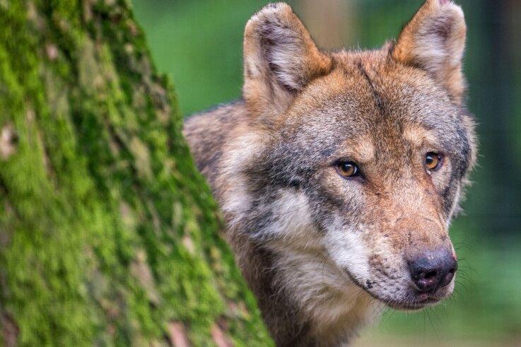 In Sachsen gab es zuletzt laut der Fachstelle Wolf 28 Rudel. Auf tschechischer Seite sind zwei Rudel bestätigt. Zu einem Rudel gehören meist fünf bis sechs Tiere.