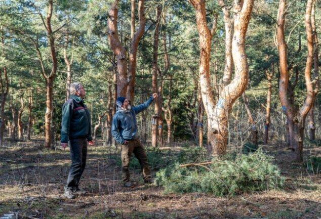 """Forstdirektor Matthias Paul (links) und Plauens Revierförster Steve Fischer in der Bergener Samenplantage: Hier wurden vor 50 Jahren besonders wertvolle Pfropflinge gepflanzt. Die Plantagenbäume haben dadurch """"tiefergelegte"""" Kronen."""