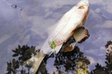 Tote Fische im Gondelteich Kleinfriesen: Bei der Karpfenernte gab es offenbar eine Panne.