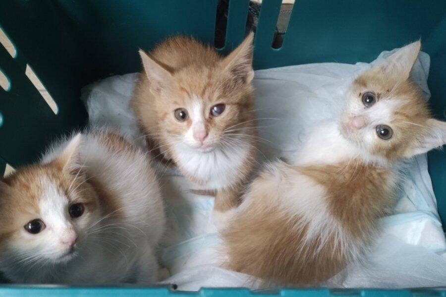 Für die Katzenbabys brauchte der Gelenauer etwas länger, doch schließlich konnte er auch die letzten drei ins Annaberger Tierheim bringen.
