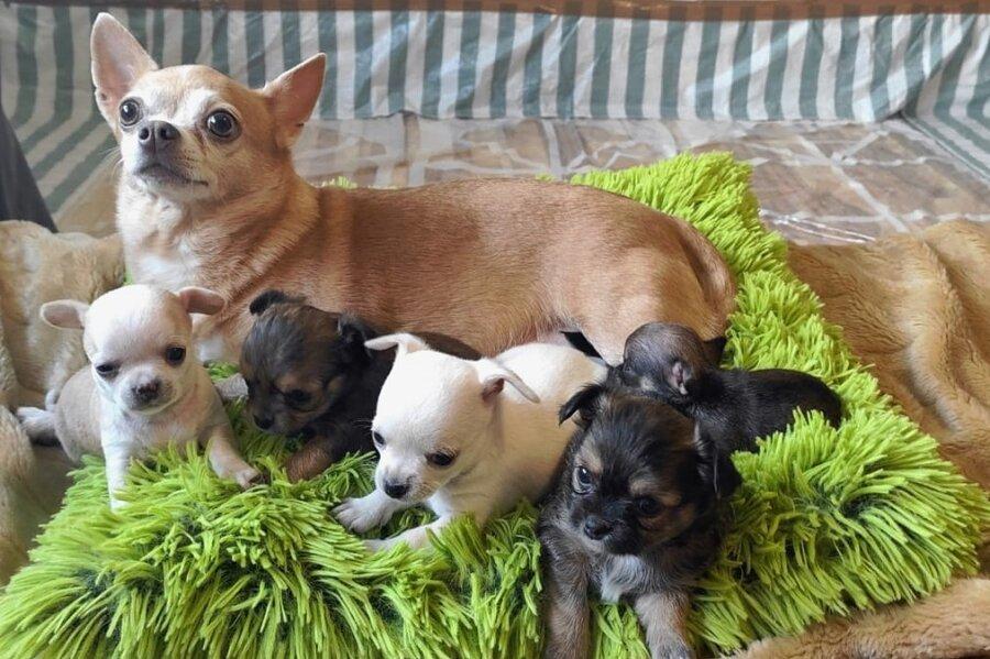 Fünf kleine Welpen haben sich aus einer beschlagnahmten Zucht im Tierheim Plauen bislang ins Leben gekämpft. Fünf weitere Neugeborene hatten kein Glück.
