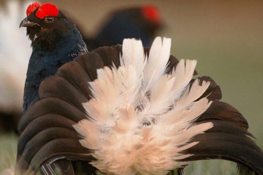 Ein 2019 von der Landesregierung beschlossenes und auf zehn Jahre ausgelegtes Artenschutzprogramm soll das Birkhuhn in der Region vor dem Aussterben bewahren. Doch schon ein Jahr später rückte der Umweltminister trotz verpflichtender Vorgaben der Europäischen Vogelschutzrichtlinie punktuell wieder davon ab.