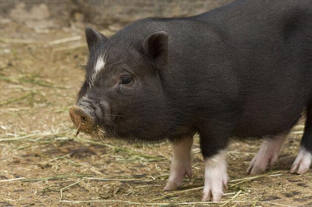 Zwei Minischweine von Kita-Gelände gestohlen