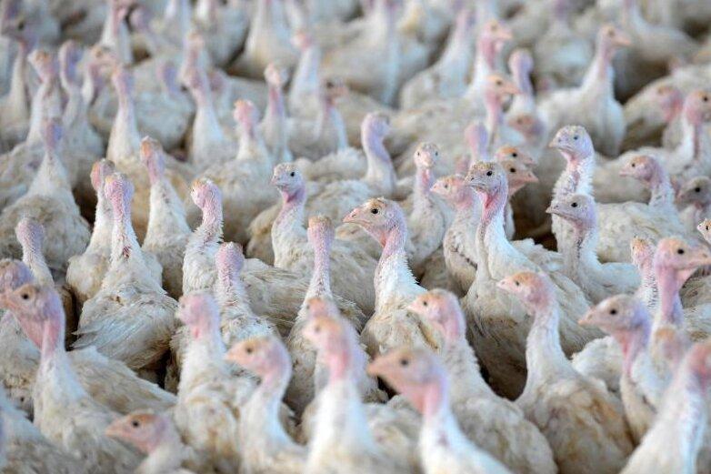 Neuer Vogelgrippe-Fall im Vogtland