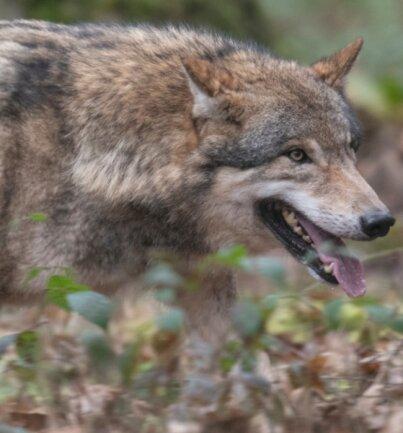 An der deutsch-tschechischen Grenze im Erzgebirgsraum konnten vier Wolfsterritorien nachgewiesen werden.