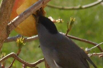 Die Mönchsgrasmücke beim Fressen.