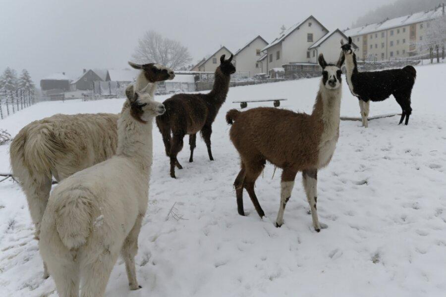 Auf dem Hobby-Bauernhof von Andrea und Michael Thierfelder in Auerbach sind Lamas zu Hause.