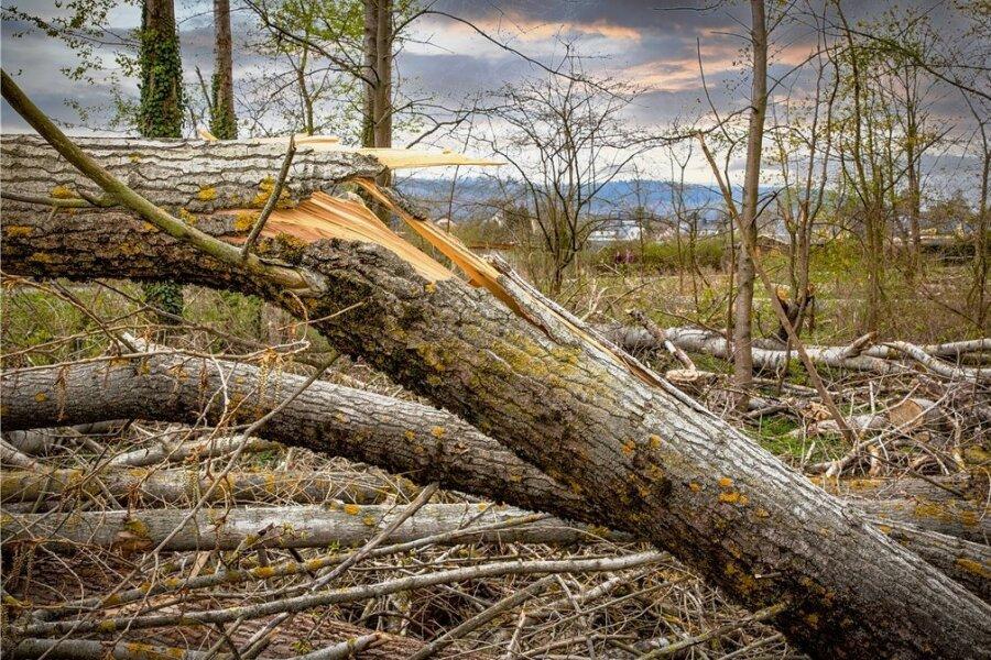 Der Pappelwald bietet keinen schönen Anblick. Weil ein brütender Rotmilan ungestört bleiben soll, wurden die Arbeiten unterbrochen.