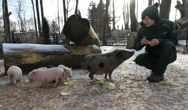 Im Januar diesen Jahres gab es auch Nachwuchs bei den Minischweinen im Tierpark.