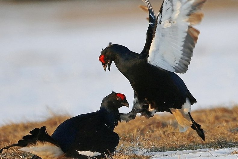 Birkhähne in der Balz. Dafür finden sich die Vögel auf bestimmten Plätzen im Frühjahr zusammen.