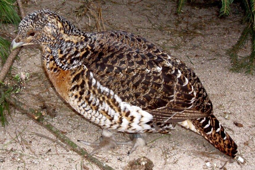 Eine Auerhenne kann sich auch mit einem Birkhahn paaren. Aus einer solchen Liaison erwachsen dann Rackelhühner.