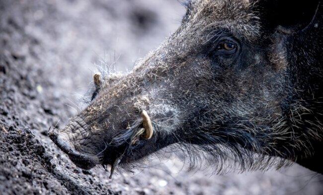 Wildschweine verbreiten die Afrikanische Schweinepest. Für Menschen ist die Krankheit ungefährlich.