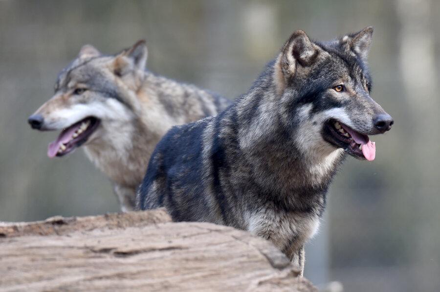 Möglicher erster Biss eines Wolfes seit Rückkehr der Tiere