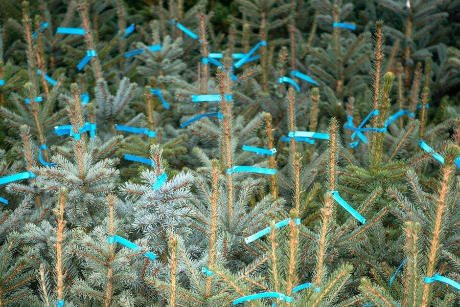 Zum Selbstschlagen: Stadt Chemnitz verkauft Weihnachtsbäume im Ebersdorfer Wald
