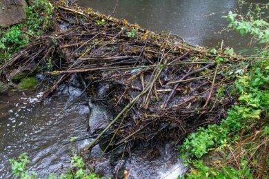 Am sonst eher einem Rinnsal gleichenden Frelsbach in Poppitz bei Rochlitz haben Biber unweit der Rochlitzer Kläranlage einen Damm errichtet. Dadurch ist das in die Zwickauer Mulde mündende Gewässer in diesem Bereich auf geschätzt drei Meter Breite angestiegen.