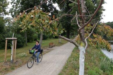 Vor allem junge Bäume, wie hier im Glauchauer Gründelpark leiden unter der massiven Trockenheit.