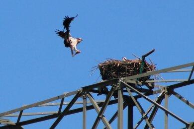 Der erste Fischadler ist auf sein Nest im Hartensteiner Ortsteil Thierfeld zurückgekehrt.