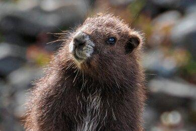 Nach etlichen Rückschlägen gibt es wieder Zuwachs beim hübschen Vancouver-Murmeltier.