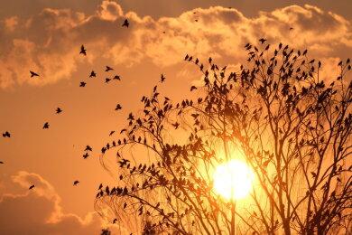Stare fliegen zu einem Baum, während im Hintergrund die Sonne untergeht. Auch in der kommenden Woche wird das Wetter von glühender Sommerhitze bestimmt.