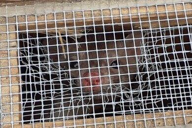 Ein pfiffiges Kerlchen, der Steinmarder: Jetzt wurde er im Sächsischen Landeskrankenhaus Rodewisch gefangen und im Wald bei Steinberg ausgesetzt. Ob die Entfernung ausreicht, wird man bald merken.
