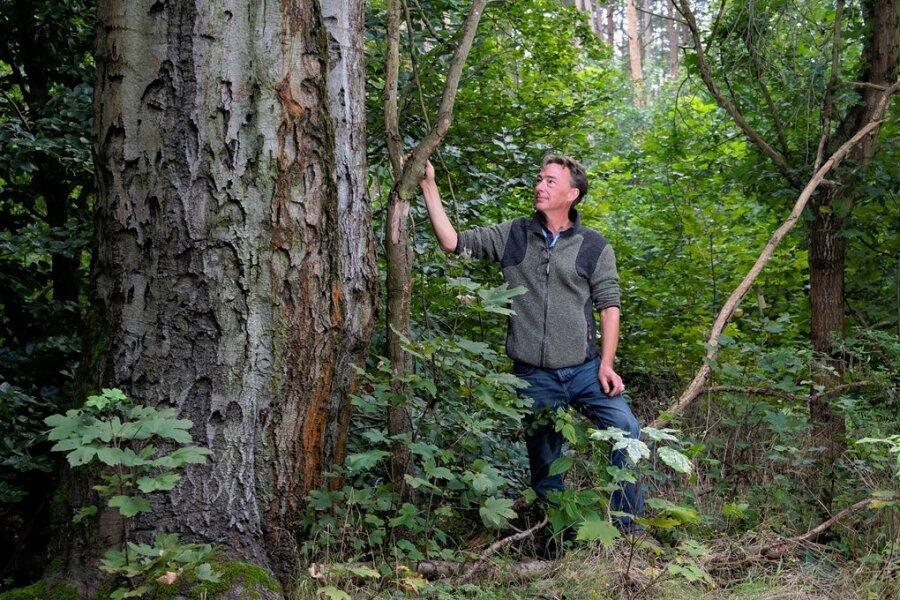 Imposante Rotbuchen, wie diesen rund 160 Jahre alten Baum, hat Daniel von Sachsen in seinen Waldgebieten im Friedewald bei Moritzburg. Sie sind Lebensraum für Vögel, Insekten, Pilze und Moose.l