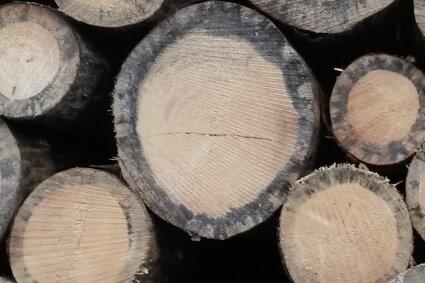 Deutlich sichtbare Baumringe - sie können Wissenschaftlern Aufschluss über die Wachstumsbedingungen der Bäume und das Klima geben.