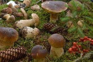 Gefährliche Pilz-Verwechslung: Das sind die giftigen Doppelgänger von Champignon & Co.