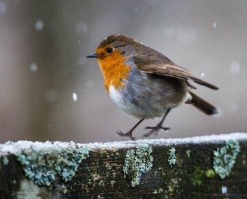 Sänger in der Kälte.