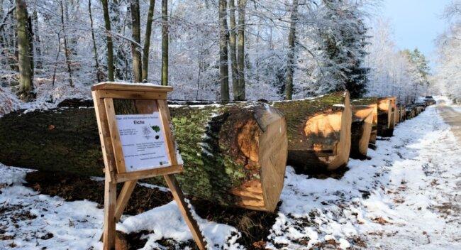 Holzauktion in der Dresdner Heide: Die Eichen werden auf dem Submissionsplatz präsentiert