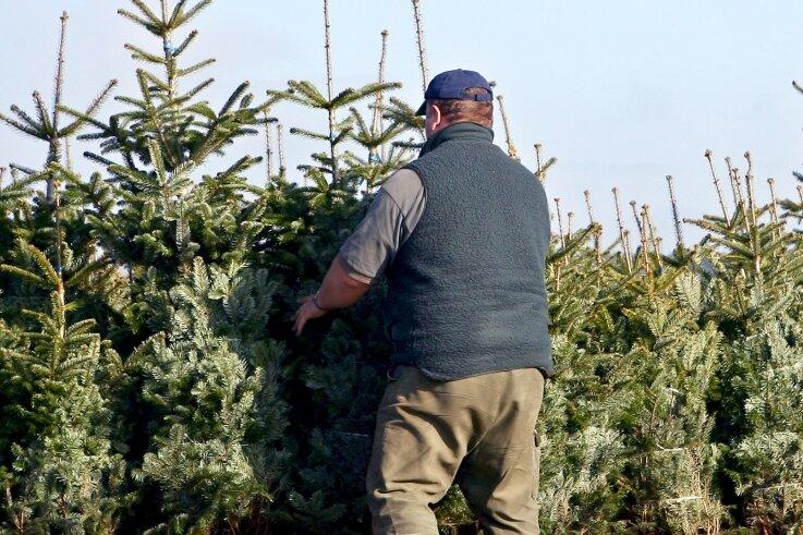 """Achten die Menschen in der Region an Weihnachten auf den Klimaschutz? Diese Frage hat die """"Freie Presse"""" in Westsachsen gestellt, auch beim Thema Weihnachtsbäume."""