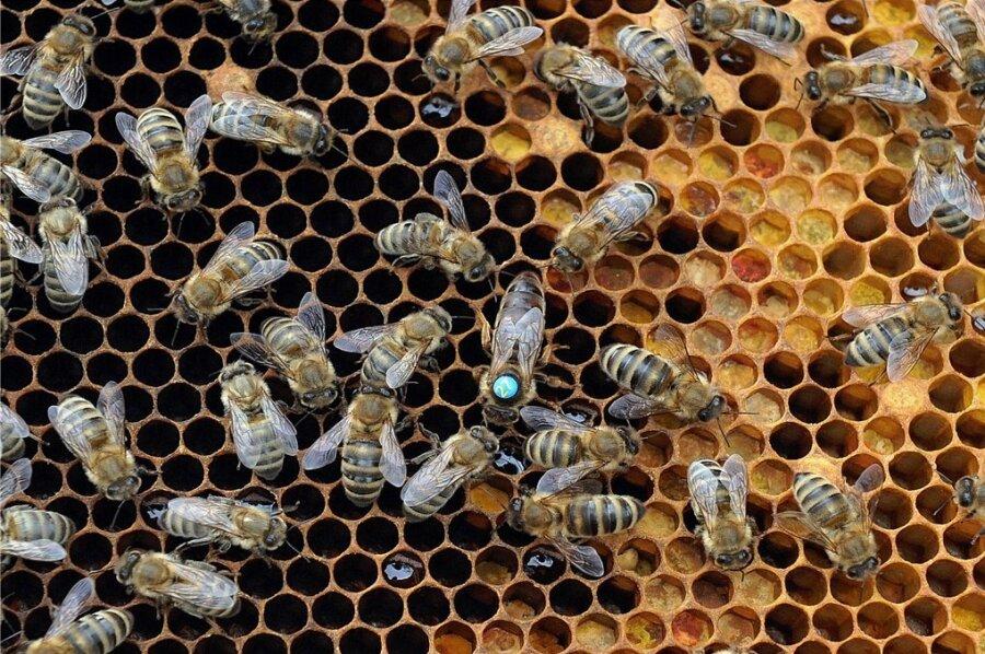 Eine Brutwabe, aus der bald Bienen schlüpfen. Der Erreger der Amerikanischen Faulbrut tötet die Brut ab.