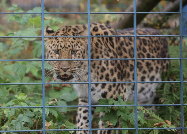Amurleopard Im Tierpark Limbach Oberfrohna Eingetroffen Freie