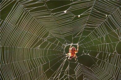 Pokrent: Eine Spinne hat mit ihrem Netz eine Fliege gefangen und wickelt ihr Opfer in der Morgensonne mit Spinnenfäden ein.