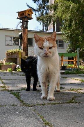 """Pfötchen (vorn) und Peterle sind Freigänger, die im Tierheim """"Waldfrieden"""" leben. Nachwuchs werden sie nicht zeugen - beide sind kastriert. Ein Eingriff, der viel Tierleid verhindern kann, sagen die Tierheim-Mitarbeiter."""