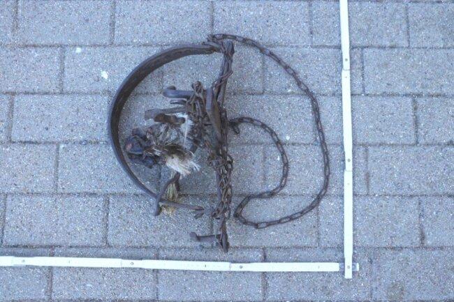Für einen verletzten Fuchsin Deutschneudorf kam jede Hilfe zu spät. Polizisten hatten ihn am Straßenrand entdeckt. Das Tier war in einem Tellereisen gefangen.