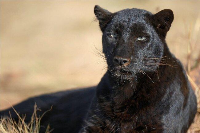In einem Dorf in Südspanien soll ein Schwarzer Panther gesehen worden sein.