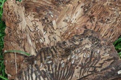 Ein Blick unter die Rinde von Fichten, die von Borkenkäfern befallen sind. Mit den sichtbaren Larven wächst die nächste Generation heran.