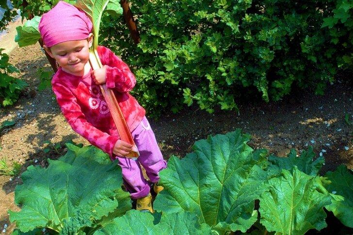 In vielen Gärten wird im Mai Rhabarber geerntet. Dabei zieht man nur voll entwickelte Blattstiele von der Pflanze. Zu Kuchen oder Kompott verarbeitet, sind die sauren Stangen auch bei vielen Kindern beliebt.