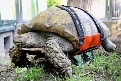 Die Spornschildkröte Helmut krabbelt mit seinem Spezial-Rollbrett durch das Freigehege der Zoom-Erlebniswelt.