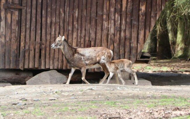 Im Wildgatter gibt es bei den Mufflons dreifachen Nachwuchs zu vermelden, der vor und nach dem Oster-Wochenende geboren wurde. Dieser Zeitraum entspricht der typischen Setzzeit von Ende April bis Anfang Mai. In der Regel setzt ein Schaf ein bis zwei Lämmer.