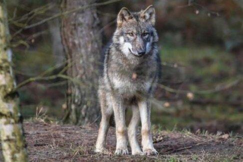 Der Wolf eint die CDU-Fraktionen