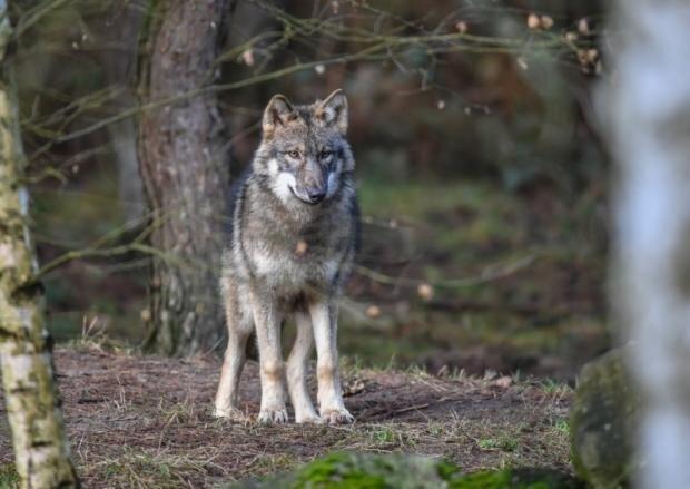 Wolfsangriffe: Mehr Hilfen für Schäfer