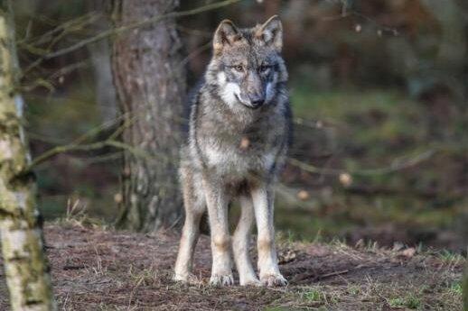 Gab es in Johanngeorgenstadt bereits einen Wolfsriss?